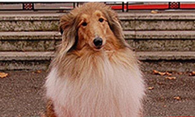 'Pet dogs share the same instinct as the film hound, Lassie'
