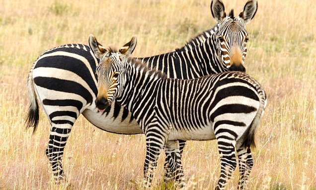 Black and white stripes on zebras do NOT keep them cool