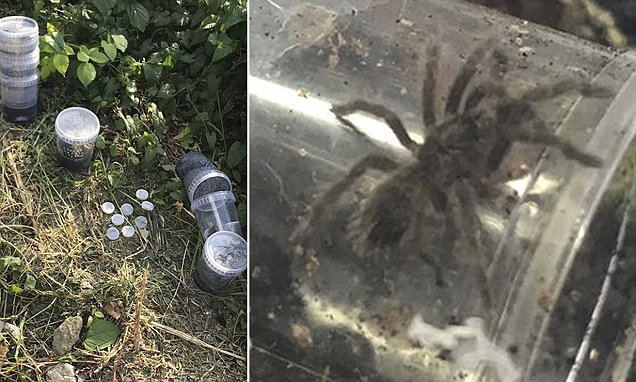 HUGE tarantulas the size of dinner plates are on the loose