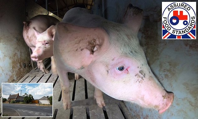 Cannibal pigs 'eat each other alive' at farm that supplies to Tesco