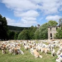 Forget 101 Dalmations! 361 Golden Retrievers floods Scottish manor