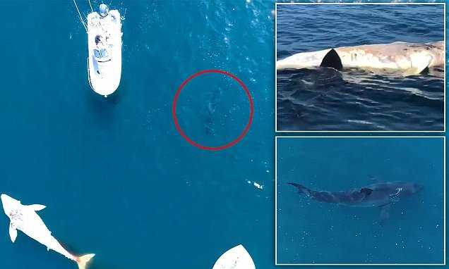 Great white shark seen less than a mile from Southern California pier