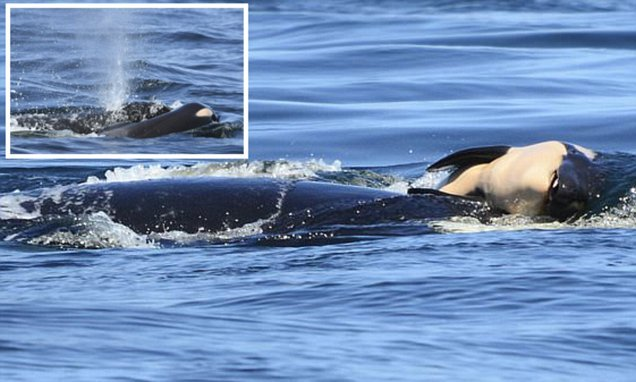 The 'grieving' mother of an endangered orca has been carrying its body