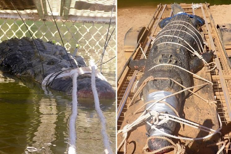 Monster 15 FOOT long, 60-year-old crocodile finally caught after eight year hunt