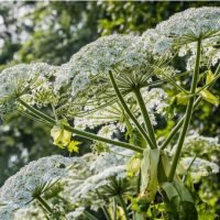 Virginia Teenager Left With Third-Degree Burns On His Face And Arm From Giant Hogweed Plant