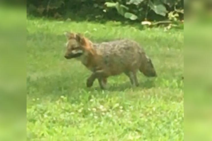 Rabid fox on the loose after attacks in Westchester