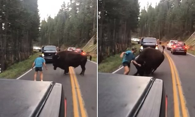 Man caught taunting a bison before it CHARGES at him