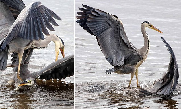 Moment a huge grey heron tries to DROWN rival at  nature reserve