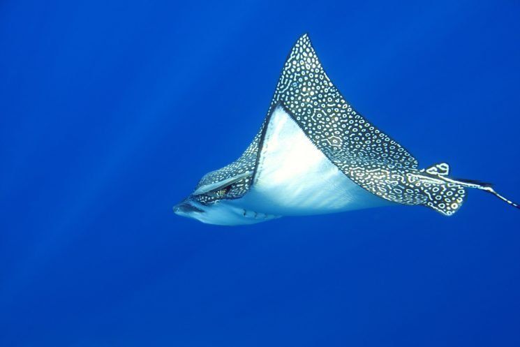 Scientists shocked by stingray's spectacular virgin birth