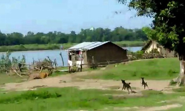Amazing moment dogs chase huge tiger away from children in India