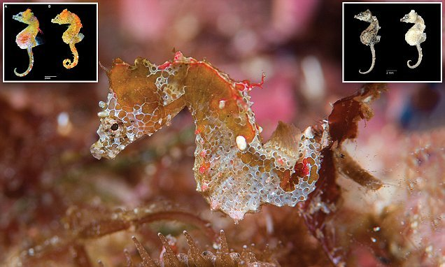 A new pygmy seahorse called 'Japan pig' has been discovered