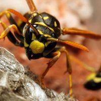 Summer heatwave is to blame for a ravaging epidemic of WASPS