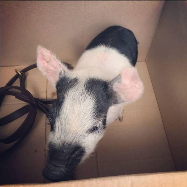 Man charged with walking PIG without lead on busy Norwich street
