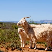 Ralph Lauren will no longer use mohair in products