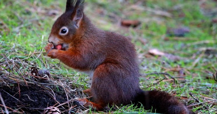 Best red squirrel locations in UK revealed as native population continues to dip