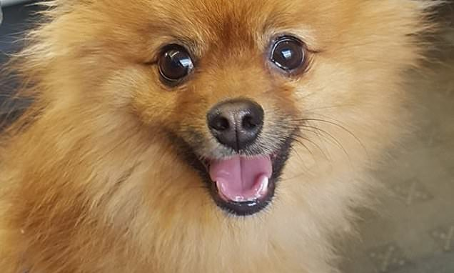 Thugs kick tiny Pomeranian puppy to death during walk in the park