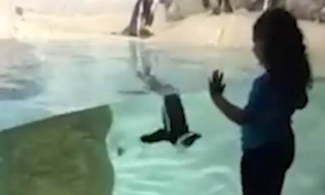 Penguin plays chase with delighted five-year-old girl at aquarium
