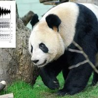 Giant Panda calls let the bears know the identity of their neighbours