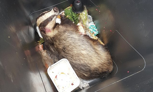 Stunned couple discover a badger stuck in the bottom of their bin