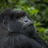 Fewer tourists visiting Rwanda's gorillas