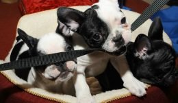 Poop Of Pet Store Puppies May Have Spread Antibiotic-Resistant Bacteria That Sickened 118