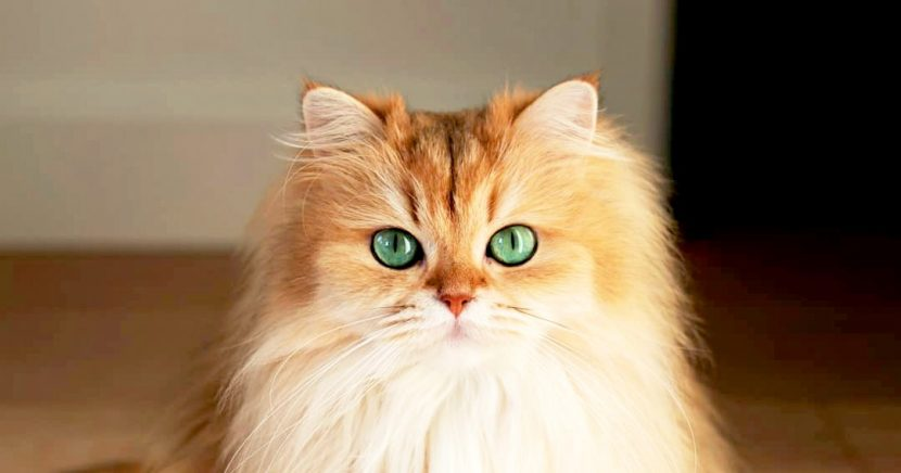 Meet Smoothie, the Feline Known as 'The World's Most Photogenic Cat'