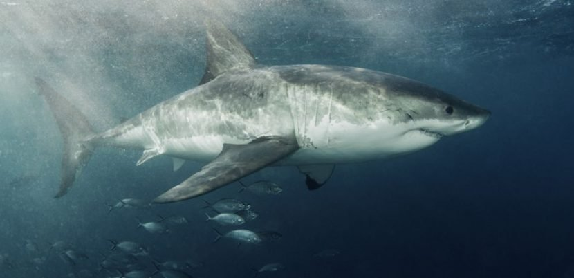 Scientists Discover New Information On 'White Shark Cafe' In Pacific Ocean