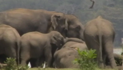 Poignant moment elephant herd gather to pay final respects to dead leader after being killed by rival