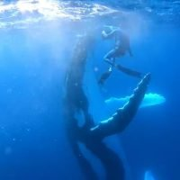 Whale playfully HIGH FIVES diver on the flipper as they swim together