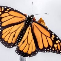 Timelapse shows a monarch butterfly breaking free from its chrysalis