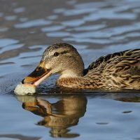 Don't feed the ducks with bread as it pollutes waterways