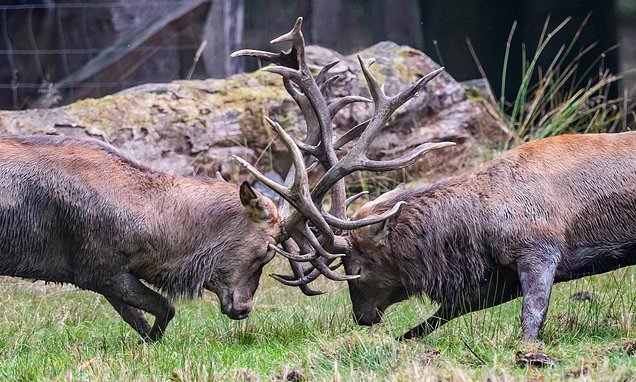 Does he fight dirty? No eye deer! Stag gets an antler in the EYEBALL