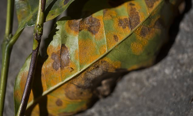 Fungus threatening to wipe out Latin America's coffee crop
