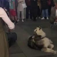 Husky starts unexpected duet when it howls along to busking violinist