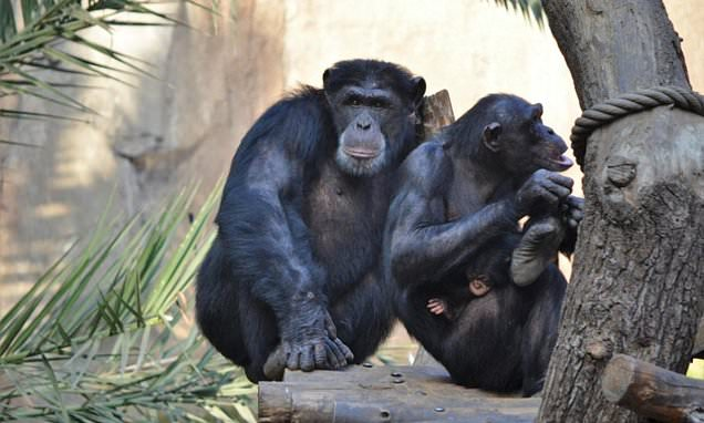 Chimpanzees can tell a stranger from family by smelling their URINE