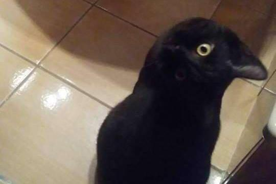 This photo appears to show a crow invading a kitchen – but the reality is VERY different