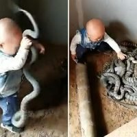 Fearless toddler wrestles giant snakes in a writhing pit full of reptiles as his parents watch on