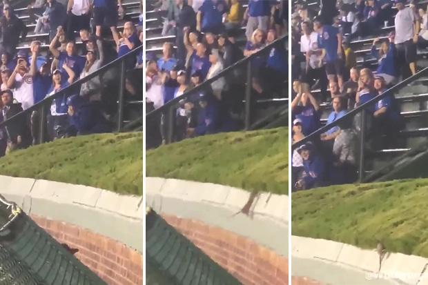 Chicago Cubs fans keep themselves amused during Pittsburgh Pirates match by cheering on rat desperately trying to jump free