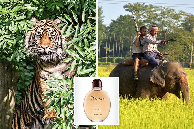 Indian cops using Calvin Klein cologne to trap man-eating tiger that's 'killed 14'… as expert warns it's hooked on 'sweet' human meat
