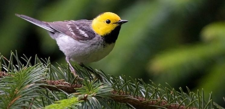Old-Growth Forests Could Shield Songbird Populations From Effects Of Climate Change, Researchers Say