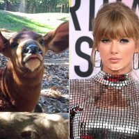 Zoo Bongo Named Taylor Swift Briefly Escapes Exhibit — and Gets Famous Namesake's Attention