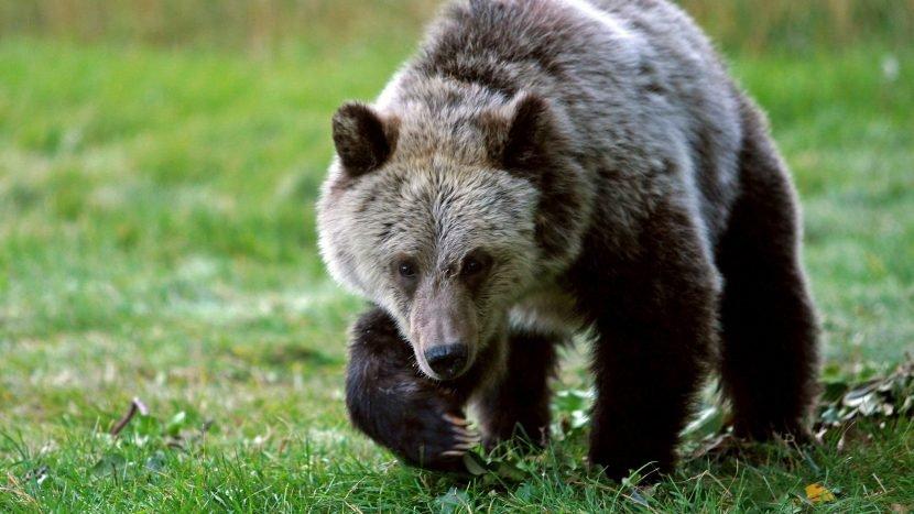 Alaskan park's Fat Bear Week lets you 'weigh-in' on bears as they bulk up pre-hibernation