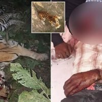 Indian villagers crush tigress to death after she killed man