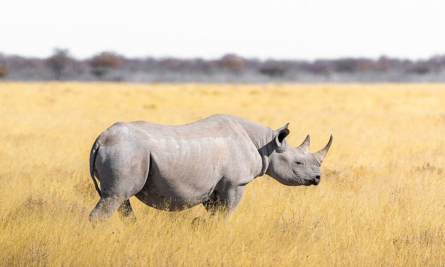 New hope for the northern white rhino