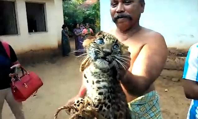 Leopard cub with legs tied together is prodded by laughing villagers