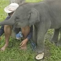 Cheeky baby elephant tries to steal human friend's phone from his hand