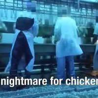 Footage reveals chickens being punched and drowned at slaughterhouse
