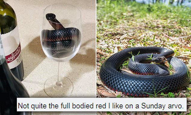 Red-belly black snake squeezes into a tiny wine glass and wont leave!