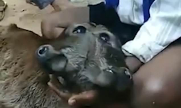 'Miraculous' calf born with two faces attached to a single skull stuns