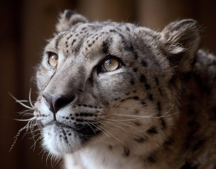 Snow leopard shot dead after escaping from Dudley Zoo enclosure when keeper left door OPEN